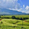 Malawi Mulanje tea5