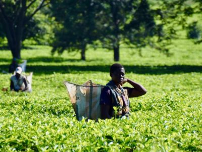 Malawi Mulanje tea2