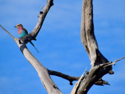 Zambia South Luangwa Bird3