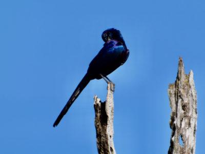Zambia South Luangwa bird1