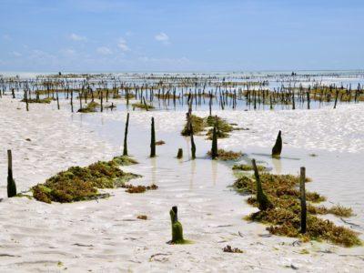 Zanzibar_SeaweedFarm3