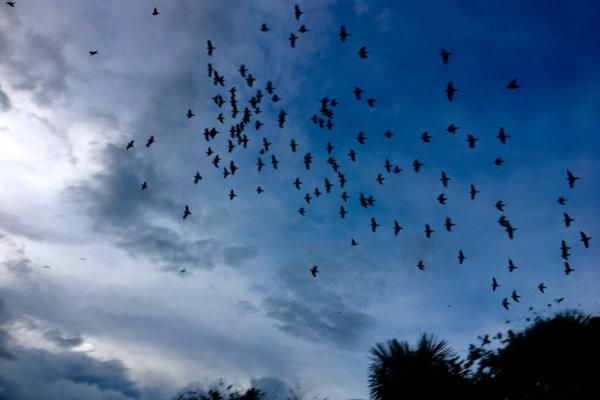 Leticia_parrots