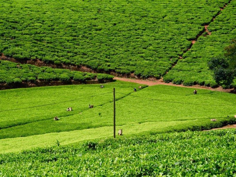 Malawi Mulanje tea4